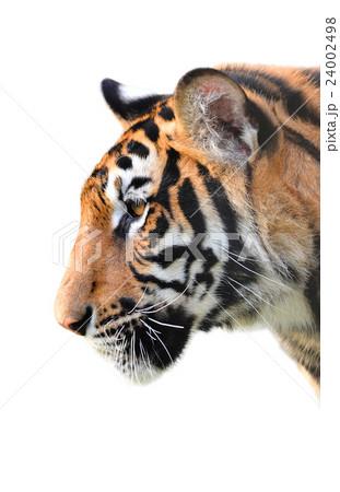 tiger head isolatedの写真素材 [24002498] - PIXTA