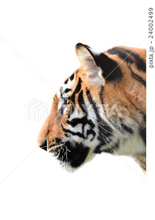 tiger head isolatedの写真素材 [24002499] - PIXTA