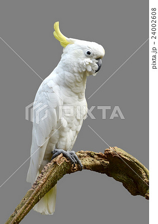 Sulphur-crested Cockatooの写真素材 [24002608] - PIXTA