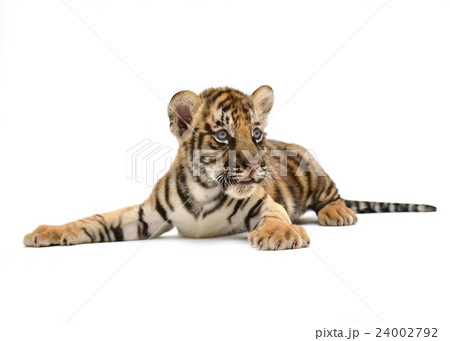 baby bengal tigerの写真素材 [24002792] - PIXTA