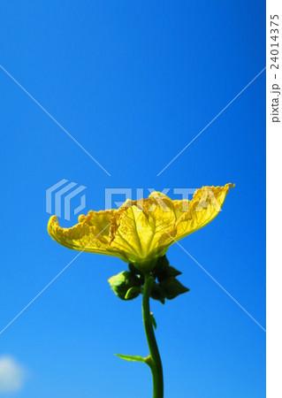 ヘチマの花と青空 24014375