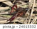 アメリカザリガニの幼体 24015332