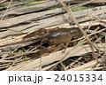 アメリカザリガニの幼体 24015334