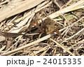 アメリカザリガニの幼体 24015335
