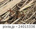 アメリカザリガニの幼体 24015336
