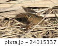 アメリカザリガニの幼体 24015337
