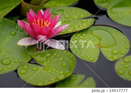 雨の日に生き生き咲く睡蓮の花 24017777