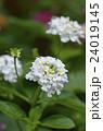 ランタナ 花 コウオウカの写真 24019145