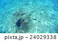 沖縄 阿嘉島のウミガメ 水中撮影 24029338