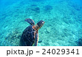 沖縄 阿嘉島のウミガメ 水中撮影 24029341