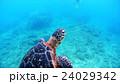 沖縄 阿嘉島のウミガメ 水中撮影 24029342