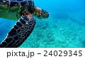 沖縄 阿嘉島のウミガメ 水中撮影 24029345