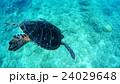 沖縄 阿嘉島のウミガメ 水中撮影 24029648