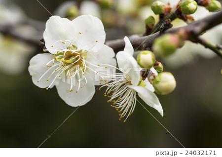 ブルーミング 開花 咲く 24032171