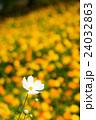 コスモス 秋桜 花の写真 24032863