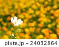 コスモス 秋桜 花の写真 24032864