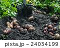 Fresh harvesting potatoes 24034199