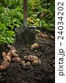 Fresh harvesting potatoes 24034202
