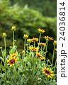 成長する花(ルドベキア) 24036814