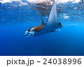 マンタ 24038996