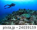 ウミガメとダイバー 24039159