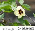 和綿の花 24039403