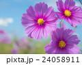 コスモス 24058911