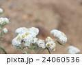 ヤマハハコ 24060536