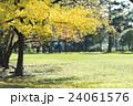 秋の公園 イチョウの木 24061576