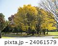 秋の公園 イチョウの木 24061579