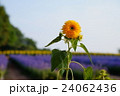 八重咲きひまわりのテディベア 24062436