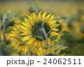 close up sun flowers in green field 24062511