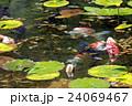 モネの池の鯉 24069467