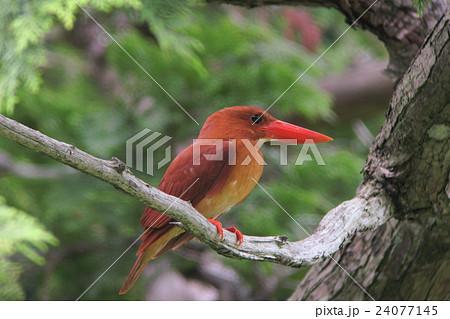 真っ赤な夏鳥・アカショウビン 24077145