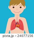 心臓 ベクター 臓器のイラスト 24077156