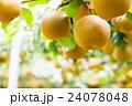 出荷前の梨 木に生っている梨 秋の味覚 果物 フルーツ 日本の梨 たくさん 24078048