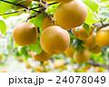 出荷前の梨 木に生っている梨 秋の味覚 果物 フルーツ 日本の梨 たくさん 24078049