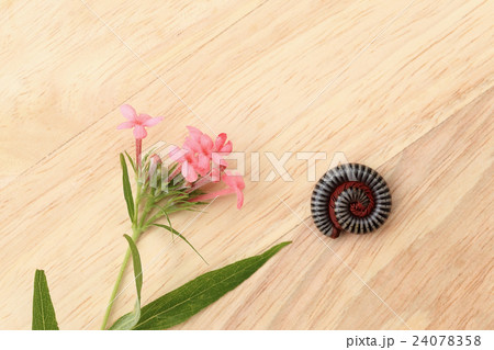 Fragrant Pink Panama Rose and Coiling millipede.の写真素材 [24078358] - PIXTA