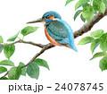 かわせみ 翡翠 鳥のイラスト 24078745