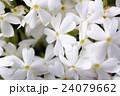 北海道の芝桜 24079662