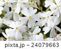 北海道の芝桜 24079663