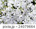 北海道の芝桜 24079664