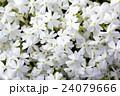 北海道の芝桜 24079666