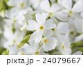 北海道の芝桜 24079667