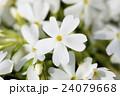 北海道の芝桜 24079668
