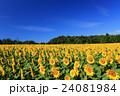 向日葵 ひまわり 花の写真 24081984