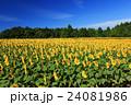 向日葵 ひまわり 花の写真 24081986