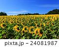 向日葵 ひまわり 花の写真 24081987