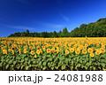 向日葵 ひまわり 花の写真 24081988