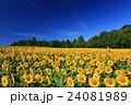 向日葵 ひまわり 花の写真 24081989